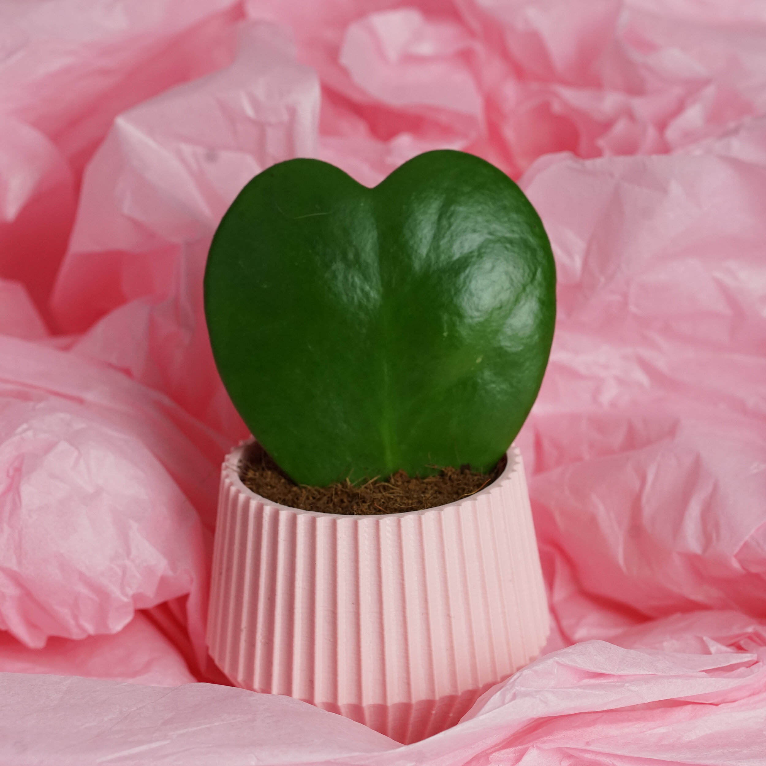 valentines day succulent surrounded by pink, sold by PRICK